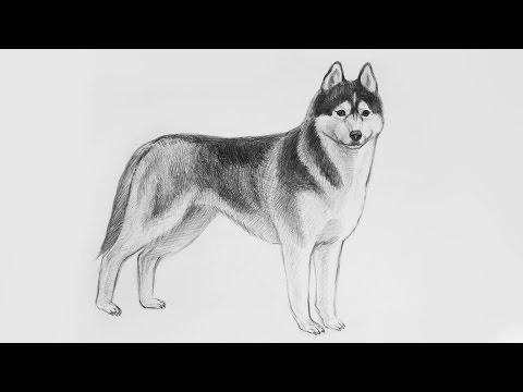 Уроки рисования. Как нарисовать СОБАКУ ХАСКИ карандашами Erich Krause поэтапно | Art School
